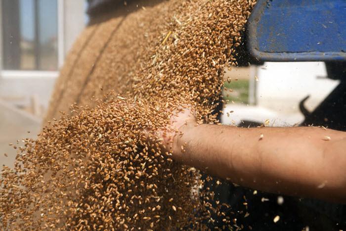 Wheat dumped into silo